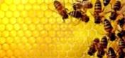 Как заменить породу пчел?