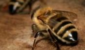 Как формируется зимний клуб пчел?