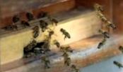 Как по характеру шума определить состояние зимующих пчелосемей?