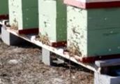 Какие характерные особенности пчел серой горной кавказской породы?