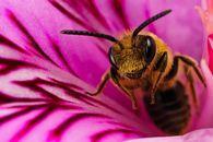 В чем суть племенной работы в пчеловодстве?