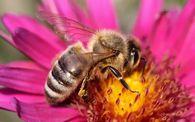 Какие хозяйственно полезные признаки учитывают при племенной работе с пчелами?