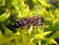 Как осуществляется циркуляция гемолимфы в теле медоносной пчелы
