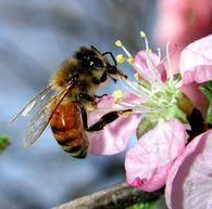 Как замариновать виноград с медом?