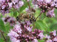 Как используют коэффициент наследственности в селекции пчел?