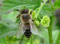 Как предотвратить ослабление пчелосемей во время главного медосбора?