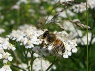 Какие особенности строения крыла медоносной пчелы