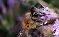 Как влияют азотные удобрения на выделение нектара цветами энтомофильных культур