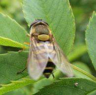 Как определить восковую производительность пчелосемьи?