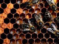 Как объединить летных пчел двух семей?