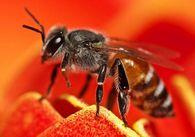 Как пополнить кормовые запасы пчел сахарным сиропом?