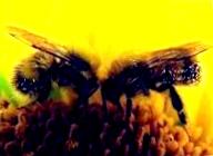 Как посадить пчел в улей