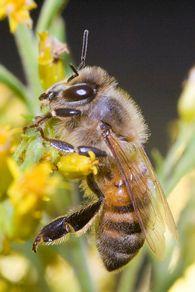 Какие птицы наносят ущерб пчеловодству?
