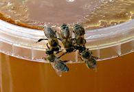 Какое расстояние пролетают пчелы, чтобы собрать нектар для выработки 1 кг меда?