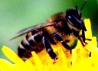 Медоносные растения для пчел