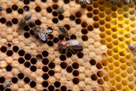 Можно ли добавлять антибиотики к сахарному сиропу для пчел, идущих в зиму?