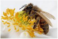 Нужно ли давать пчелосемье во время медосбора вощину для отстройки сотов?