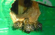 Нужно ли выравнивать силу пчелосемей?