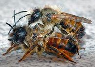 При каких заболеваниях применяют пчелиный яд?