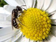 Какой вред могут нанести пчелам муравьи?