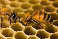 О чем свидетельствуют длина и ширина правого переднего крыла рабочей пчелы?