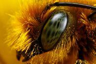Какую функцию выполняют крючочки на заднем крыле пчелы?