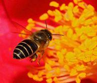 Какое значение селекции в пчеловодстве?