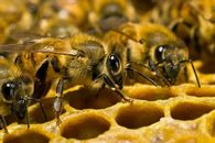 Как изменяется температура зимующих клуба пчел?
