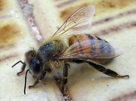 Почему необходимо наблюдать за облетом пчел?
