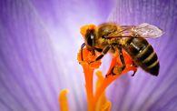 Почему пчелы запариваются?