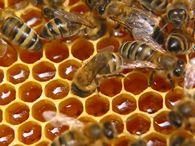 Почему возникает незаразный понос пчел?