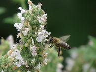 Реагируют ли пчелы на запах чеснока?