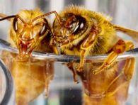 Как применяют бипин для борьбы с варроатозом пчел?