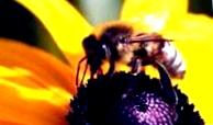 Роение медоносных пчел