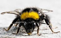 С какой скоростью летит пчела?