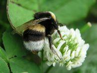 Способствует ли защите организма пчелы от микроорганизмов её жировое тело?