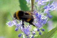 Какие признаки заболевания запечатанного расплода пчел американским гнильцом?