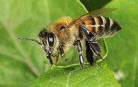 Сколько раз линяет личинка пчелы?