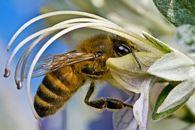 Почему нельзя откачивать незрелый мед?