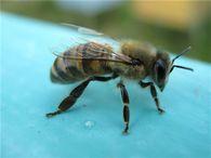Влияет ли место размещения пасеки на заболевание пчел нозематозом