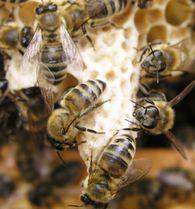 В чем заключается суть весеннего ограничения гнезда пчел по методу Блинова?
