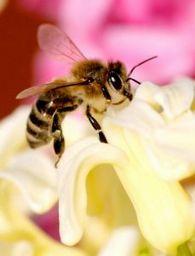 Можно повлиять на интенсивность выделения нектара растениями?