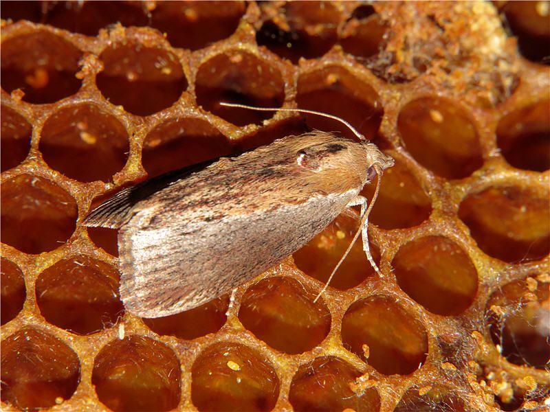 Наличие личинок моли в сотах